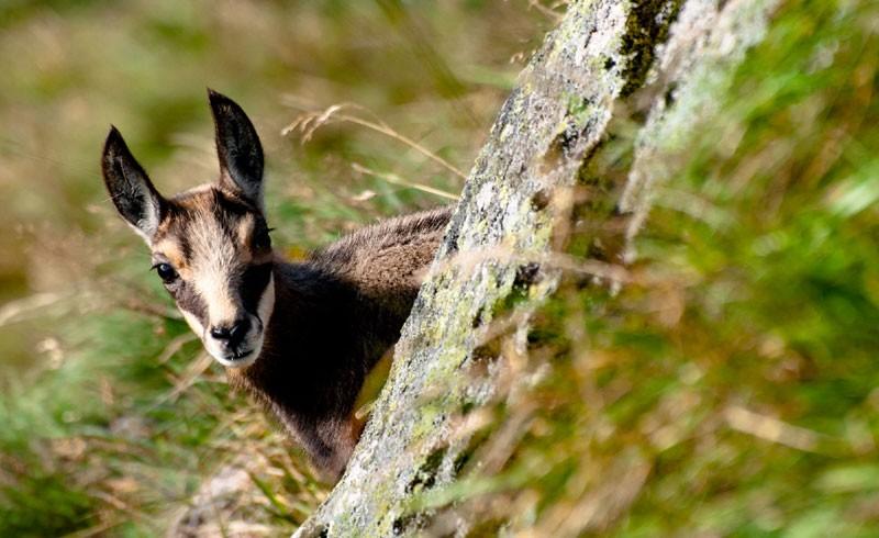 sejour-ecotourisme-chamois-273534